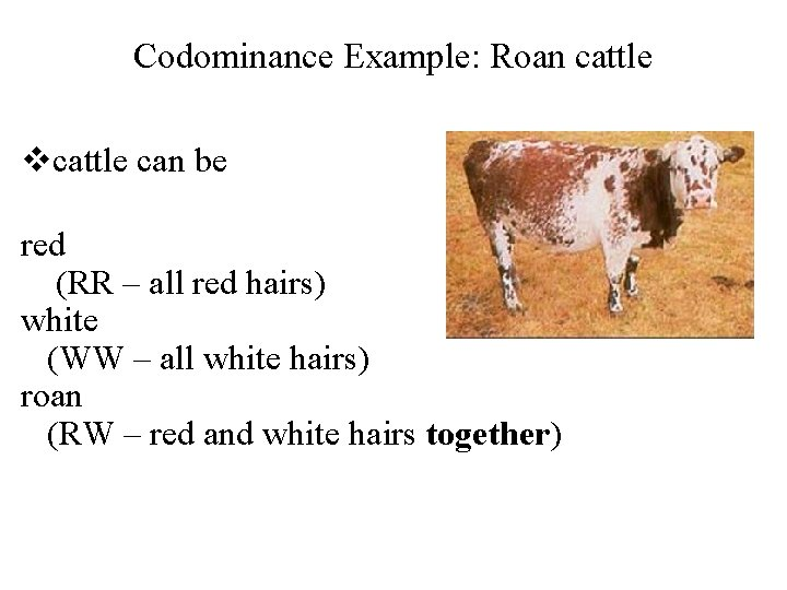 Codominance Example: Roan cattle vcattle can be red (RR – all red hairs) white