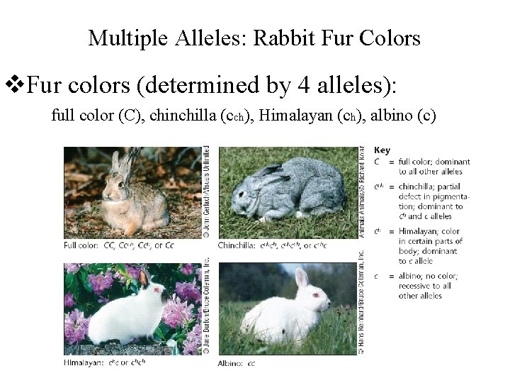 Multiple Alleles: Rabbit Fur Colors v. Fur colors (determined by 4 alleles): full color