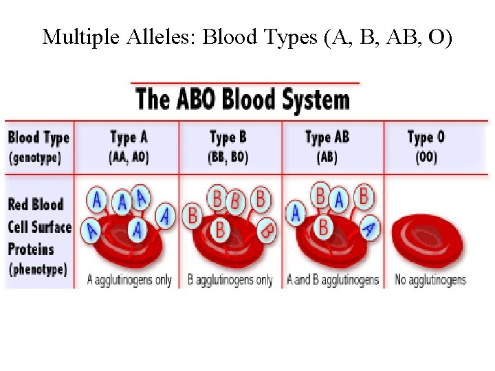 Multiple Alleles: Blood Types (A, B, AB, O)