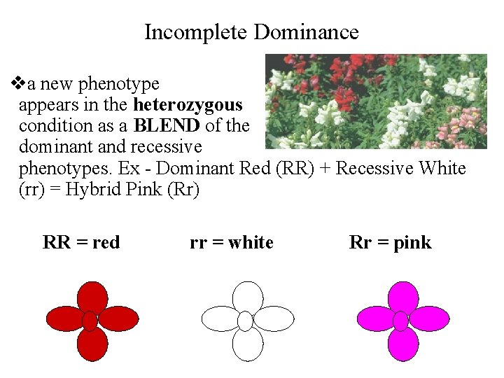 Incomplete Dominance va new phenotype appears in the heterozygous condition as a BLEND of