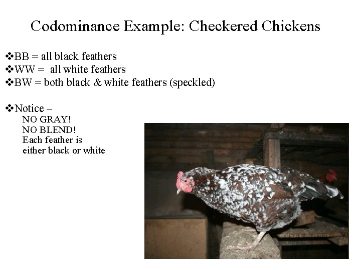 Codominance Example: Checkered Chickens v. BB = all black feathers v. WW = all