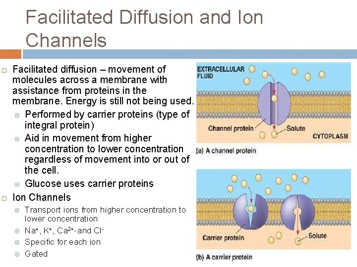 Facilitated Diffusion and Ion Channels ¨ ¨ Facilitated diffusion – movement of molecules across