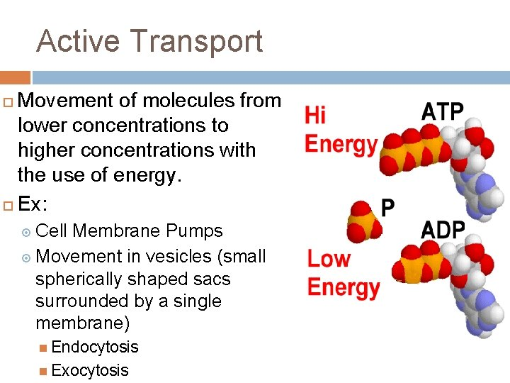 Active Transport Movement of molecules from lower concentrations to higher concentrations with the use