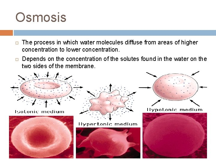 Osmosis ¨ ¨ The process in which water molecules diffuse from areas of higher