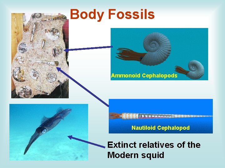 Body Fossils Ammonoid Cephalopods Nautiloid Cephalopod Extinct relatives of the Modern squid