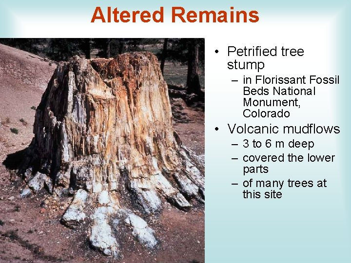 Altered Remains • Petrified tree stump – in Florissant Fossil Beds National Monument, Colorado