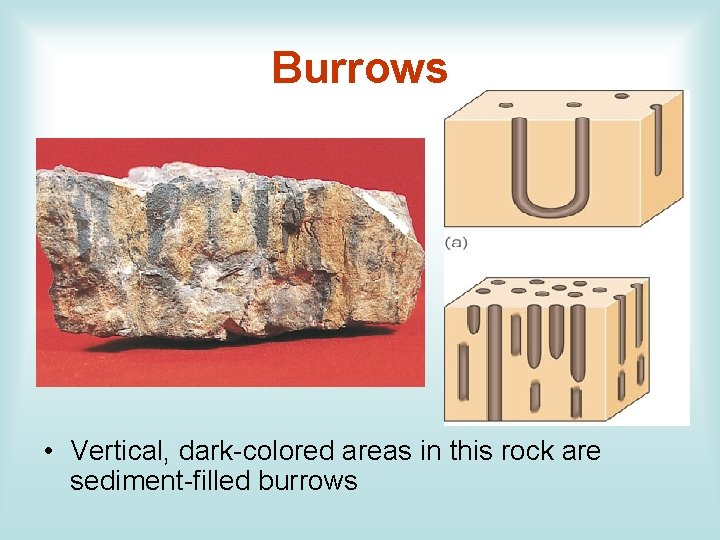 Burrows • Vertical, dark-colored areas in this rock are sediment-filled burrows