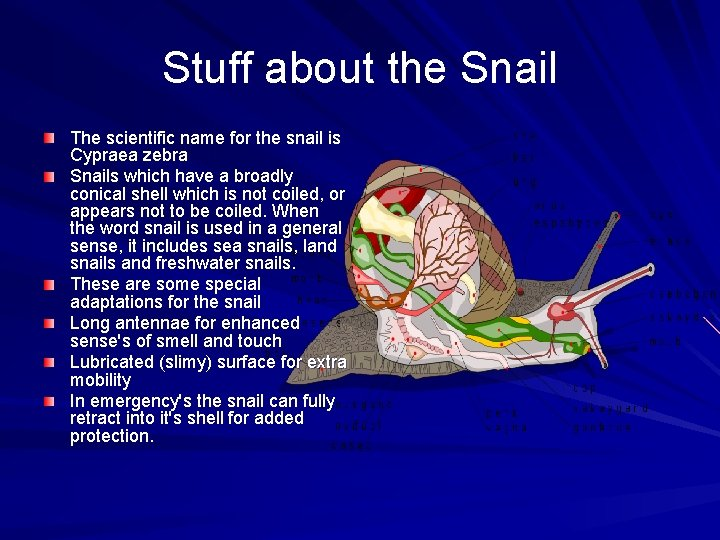 Stuff about the Snail The scientific name for the snail is Cypraea zebra Snails