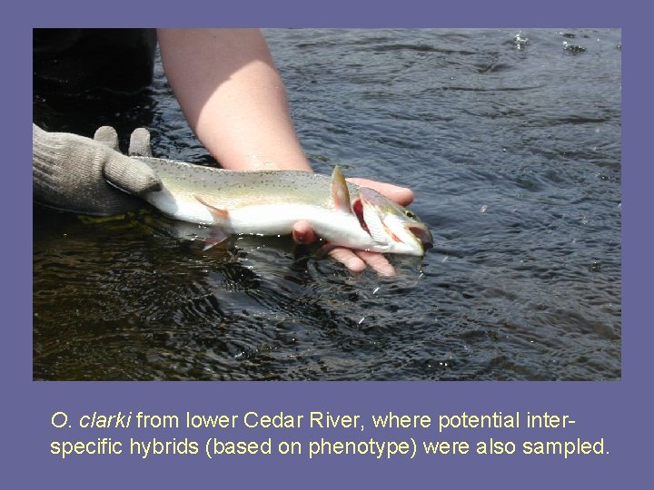 O. clarki from lower Cedar River, where potential interspecific hybrids (based on phenotype) were