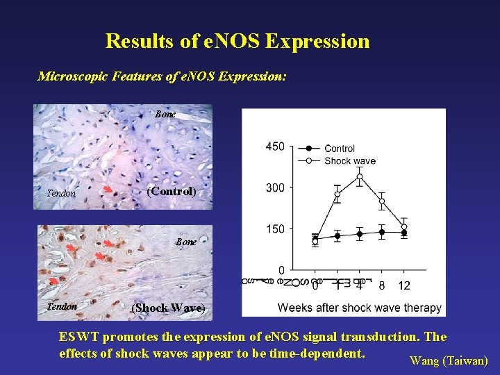Results of e. NOS Expression Microscopic Features of e. NOS Expression: Bone Tendon (Control)