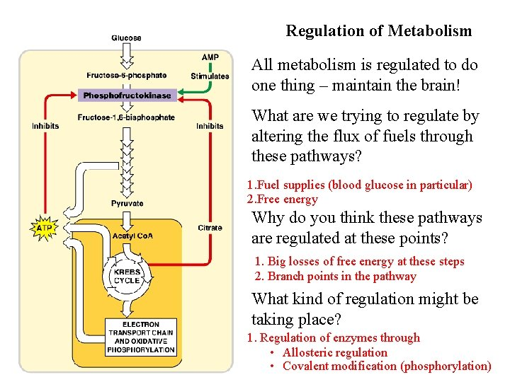 Regulation of Metabolism All metabolism is regulated to do one thing – maintain the