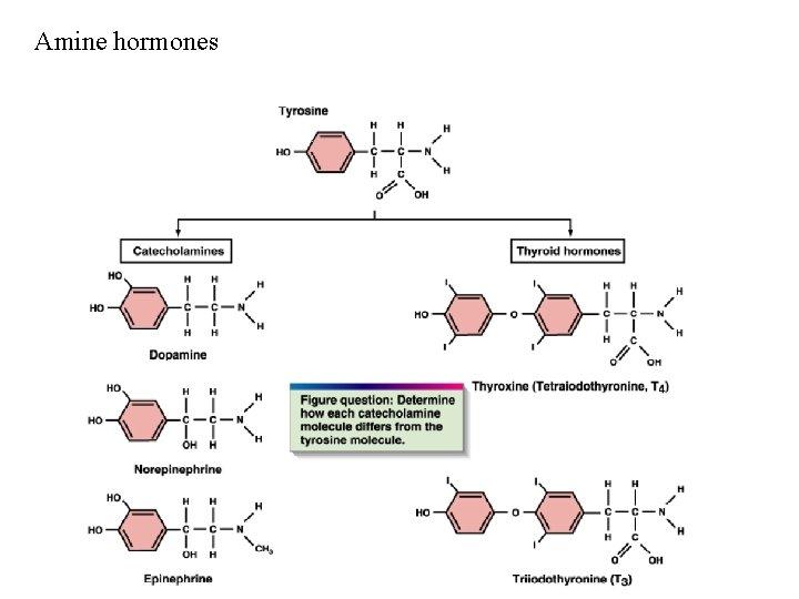 Amine hormones