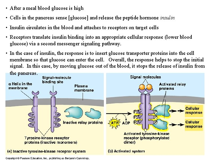 • After a meal blood glucose is high • Cells in the pancreas
