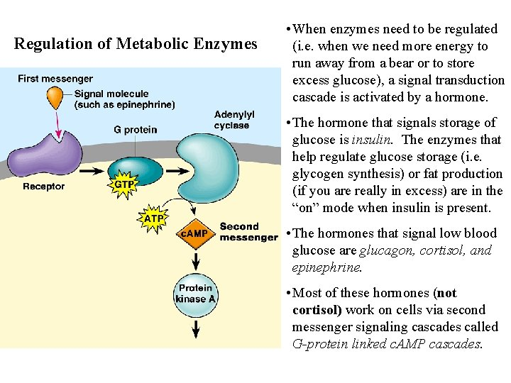 Regulation of Metabolic Enzymes • When enzymes need to be regulated (i. e. when