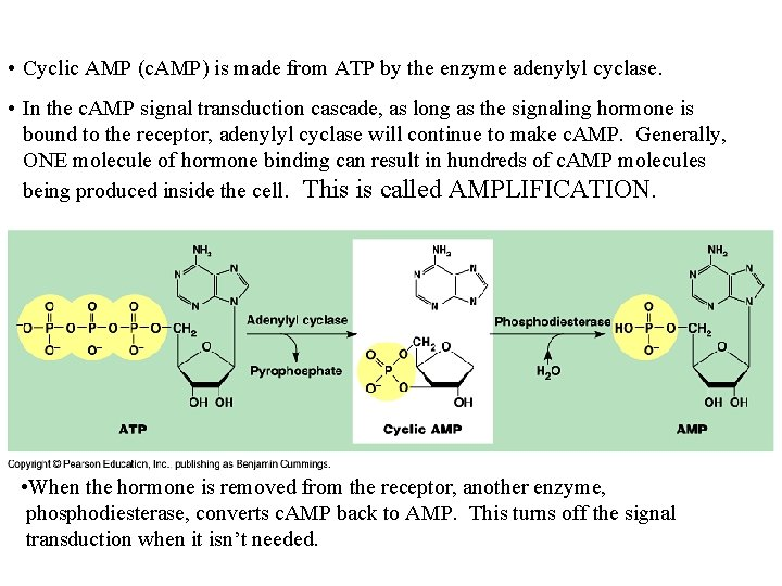 • Cyclic AMP (c. AMP) is made from ATP by the enzyme adenylyl