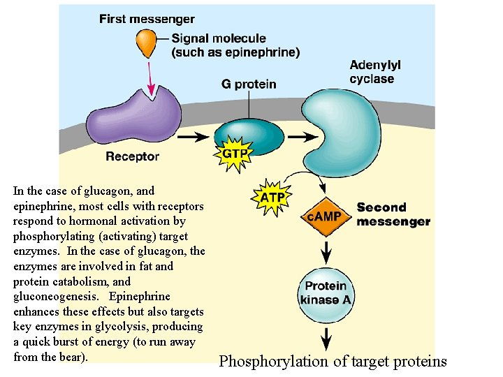 In the case of glucagon, and epinephrine, most cells with receptors respond to hormonal