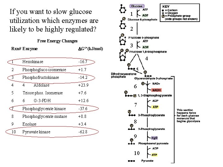 If you want to slow glucose utilization which enzymes are likely to be highly