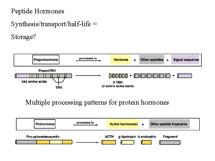 Peptide Hormones Synthesis/transport/half-life = Storage? Multiple processing patterns for protein hormones