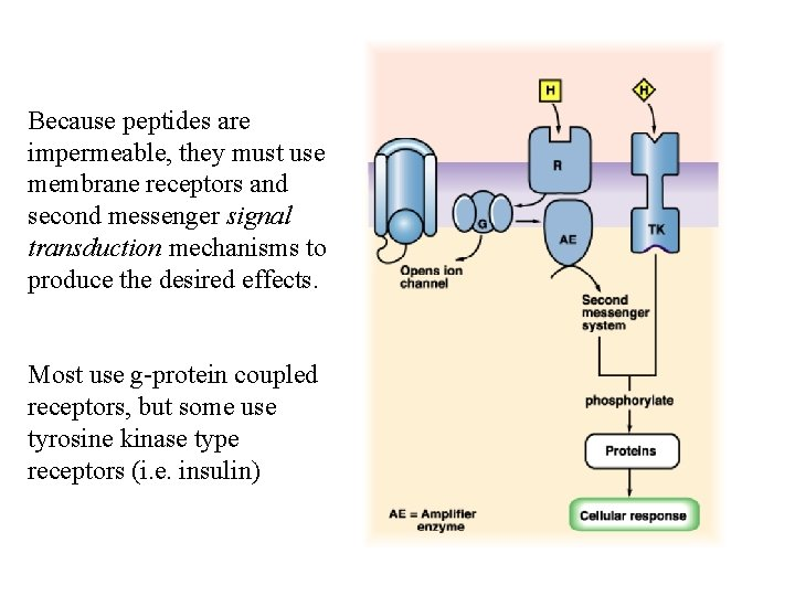 Because peptides are impermeable, they must use membrane receptors and second messenger signal transduction