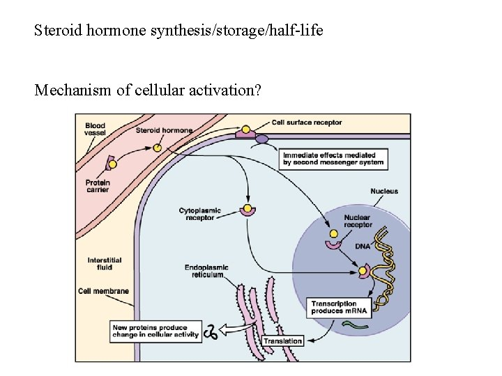 Steroid hormone synthesis/storage/half-life Mechanism of cellular activation?