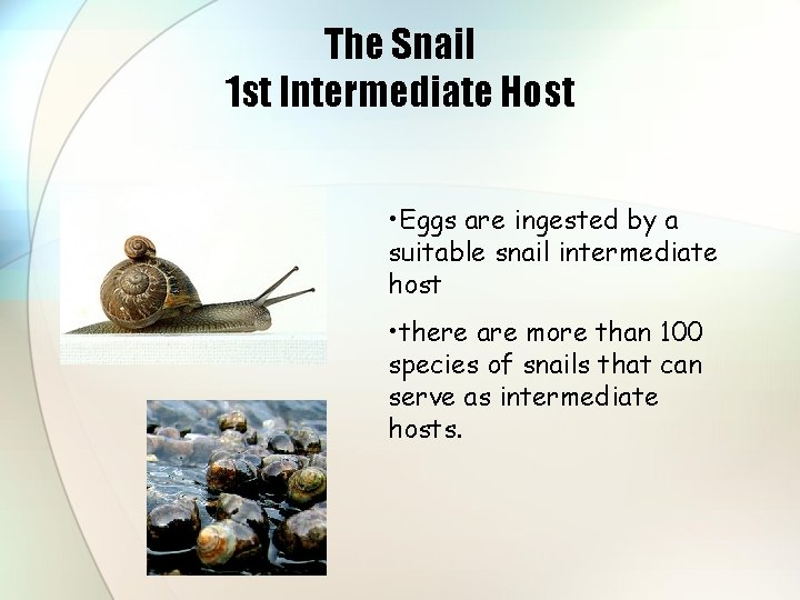 The Snail 1 st Intermediate Host • Eggs are ingested by a suitable snail