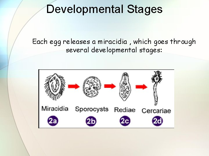 Developmental Stages Each egg releases a miracidia , which goes through several developmental stages: