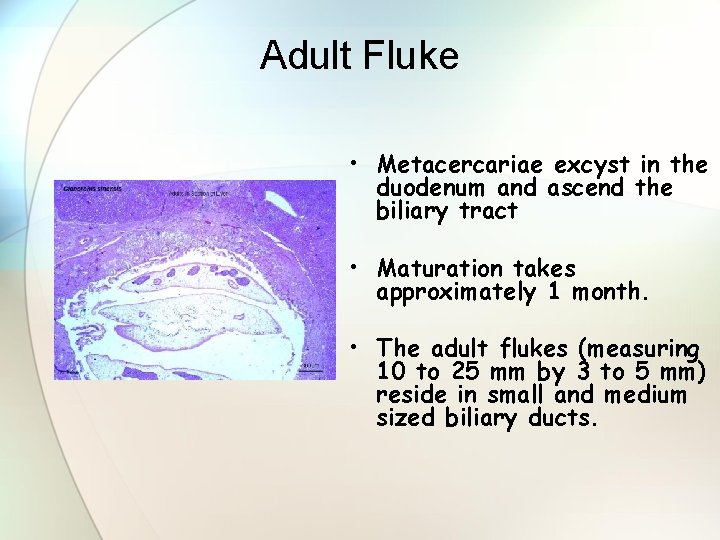 Adult Fluke • Metacercariae excyst in the duodenum and ascend the biliary tract •