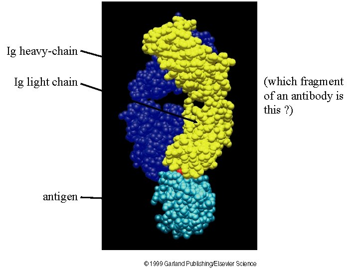 Ig heavy-chain Ig light chain antigen (which fragment of an antibody is this ?