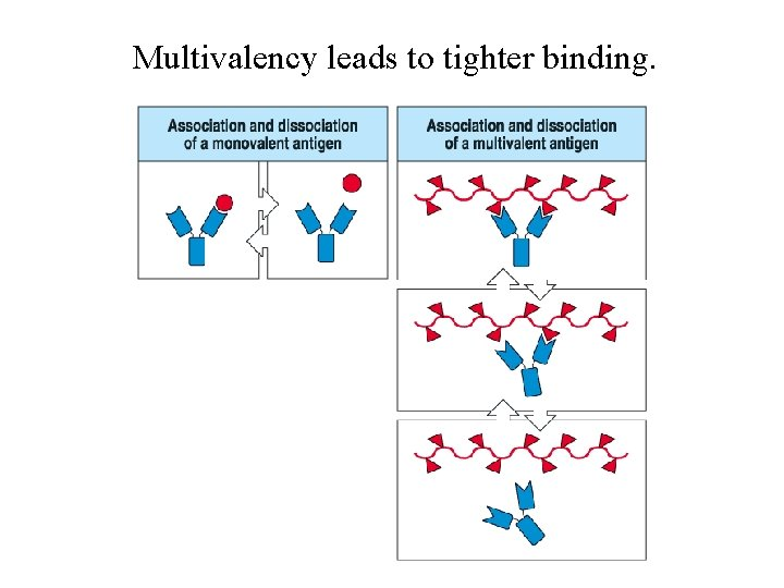 Multivalency leads to tighter binding.