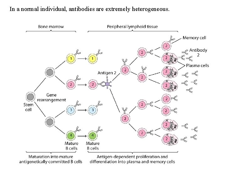 In a normal individual, antibodies are extremely heterogeneous.