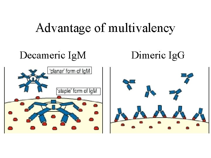 Advantage of multivalency Decameric Ig. M Dimeric Ig. G