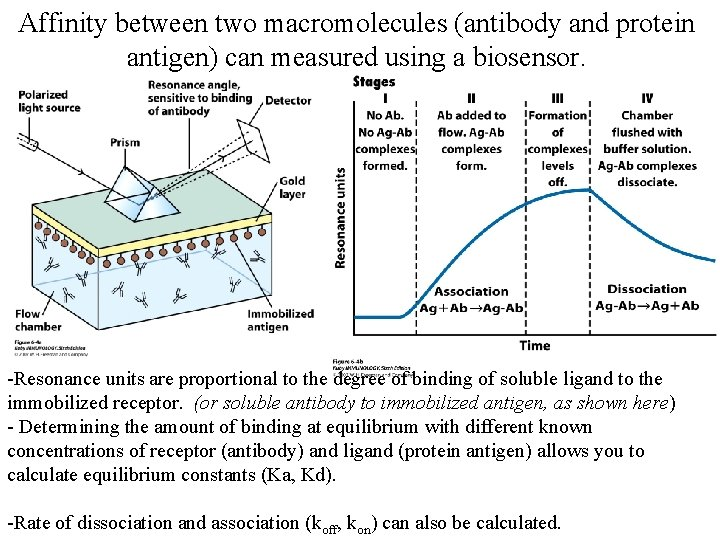 Affinity between two macromolecules (antibody and protein antigen) can measured using a biosensor. -Resonance