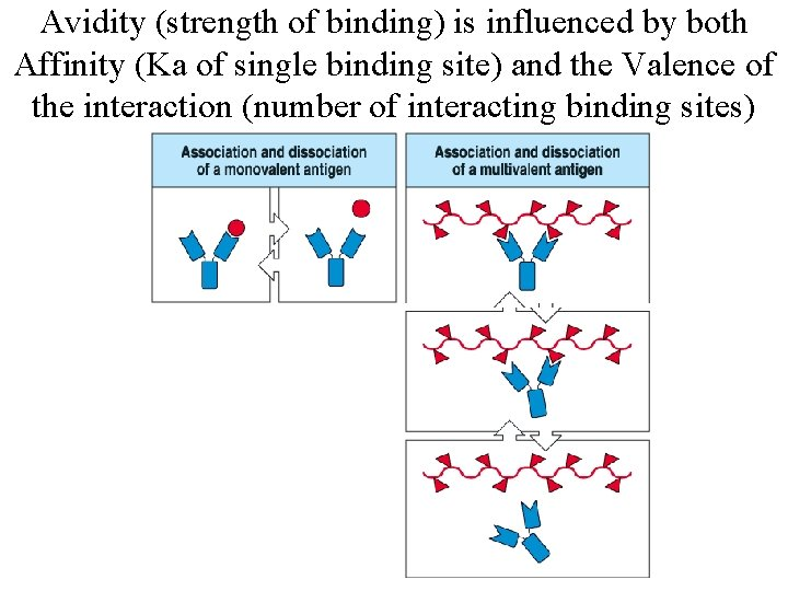 Avidity (strength of binding) is influenced by both Affinity (Ka of single binding site)