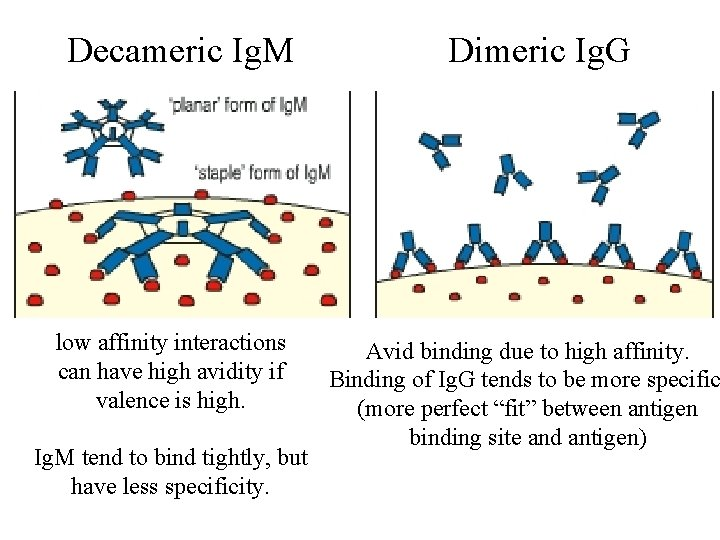 Decameric Ig. M low affinity interactions can have high avidity if valence is high.