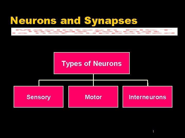 Neurons and Synapses Types of Neurons Sensory Motor Interneurons 1
