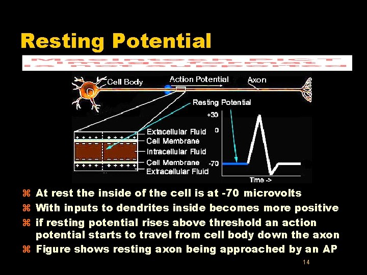 Resting Potential z At rest the inside of the cell is at -70 microvolts