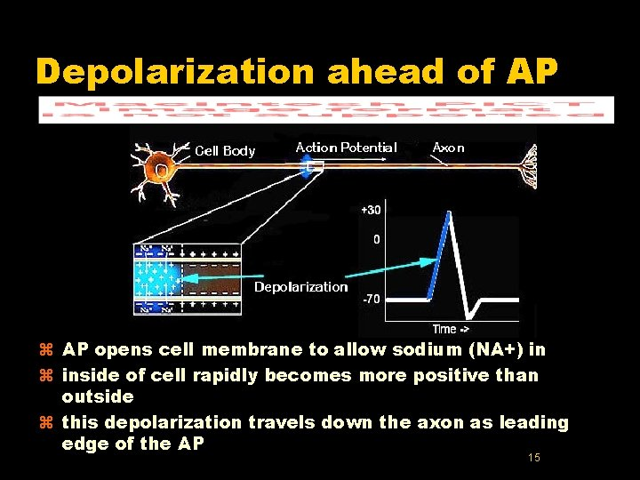 Depolarization ahead of AP z AP opens cell membrane to allow sodium (NA+) in