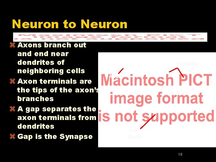 Neuron to Neuron z Axons branch out and end near dendrites of neighboring cells