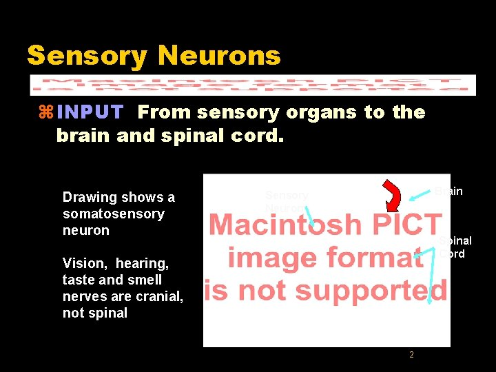 Sensory Neurons z INPUT From sensory organs to the brain and spinal cord. Drawing