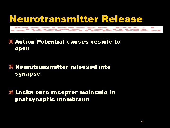 Neurotransmitter Release z Action Potential causes vesicle to open z Neurotransmitter released into synapse