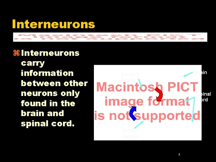 Interneurons z Interneurons carry information between other neurons only found in the brain and