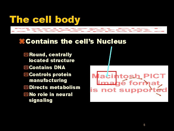The cell body z Contains the cell's Nucleus y Round, centrally located structure y