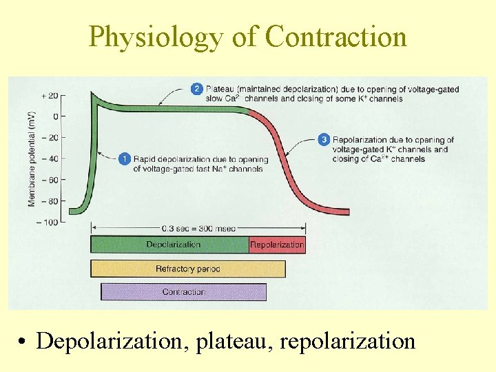 Physiology of Contraction • Depolarization, plateau, repolarization
