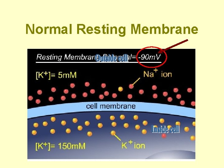 Normal Resting Membrane