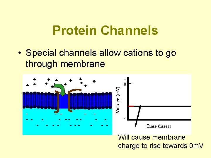 Protein Channels • Special channels allow cations to go through membrane Will cause membrane