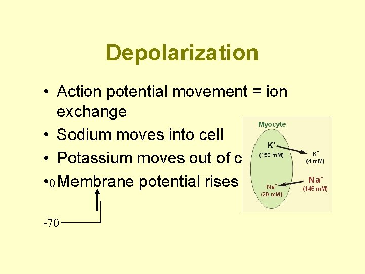 Depolarization • Action potential movement = ion exchange • Sodium moves into cell •