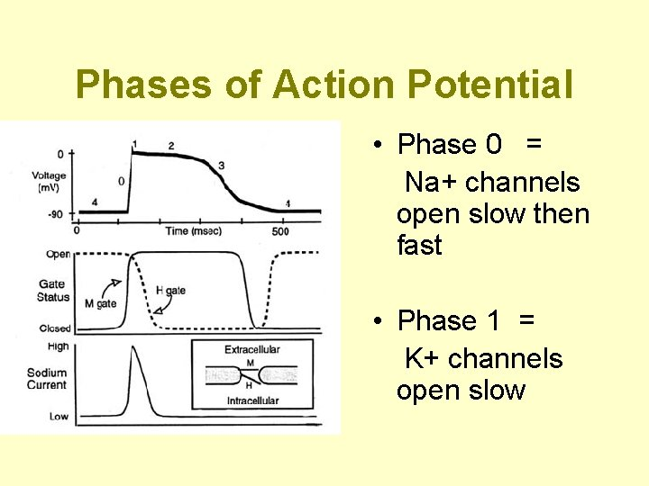Phases of Action Potential • Phase 0 = Na+ channels open slow then fast