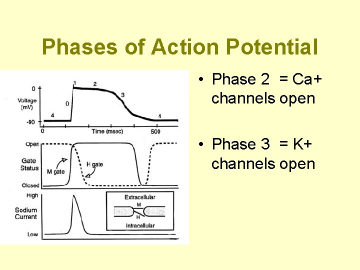 Phases of Action Potential • Phase 2 = Ca+ channels open • Phase 3