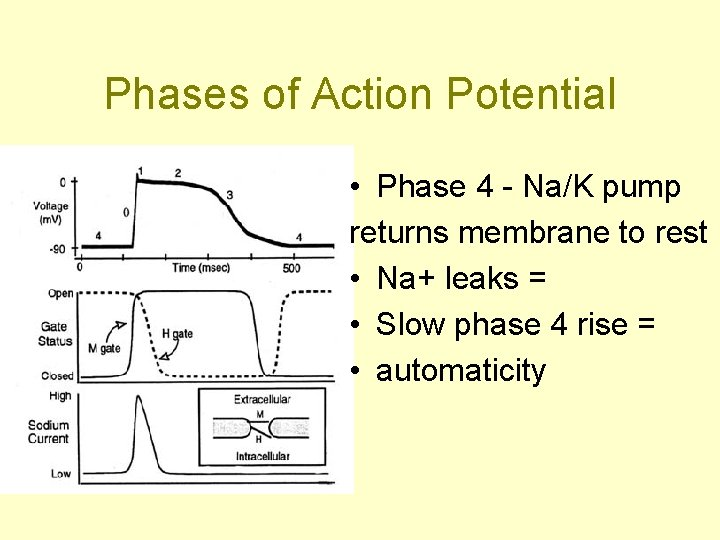 Phases of Action Potential • Phase 4 - Na/K pump returns membrane to rest