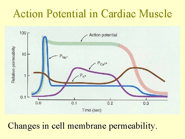 Action Potential in Cardiac Muscle Changes in cell membrane permeability.